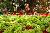 常熟吃货注意啦 吐鲁番特级无核白葡萄预售进入倒计时