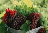"""甜爽可人的""""紅珍珠""""來啦 新疆火焰無核葡萄預售再度開啟"""