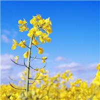 生活不止眼前的苟且 还有常熟周边这片美成诗的油菜花田野