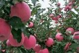 臨猗紅富士蘋果購買方式